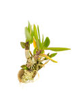 Orchid seedlings on white background. Stock Photos