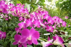Orchid in the Singapore Botanic Gardens. Stock Images