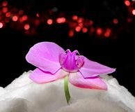 Orchid in snow. With the background of red fires Stock Photos