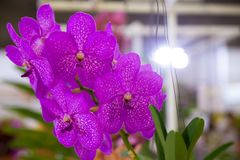 Orchid species Championship. Were on display for people to visit Royalty Free Stock Photography