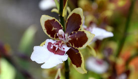 Orchid species, ONCIDIUM orchid bloom. A beautiful rare orchid in bloom royalty free stock photo