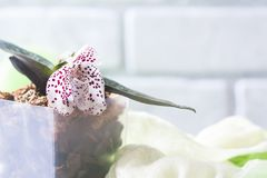 Orchid species Paphiopedilum or Venus lady shoes flower factory. Macro, selective focus Royalty Free Stock Images