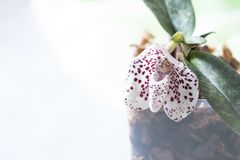 Orchid species Paphiopedilum or Venus lady shoes flower factory. Stock Photos