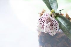 Orchid species Paphiopedilum or Venus lady shoes flower factory. Macro, selective focus Stock Photos