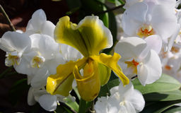 Orchid species, Phalenopsis orchids and a yellow Venus` Slipper orchid. A beautifull white Phalenopsis orchids in bloom, and a yellow orchid often named Venus` Royalty Free Stock Image