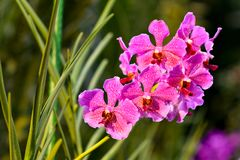 Singapore orchids species. 226 orchid species represented by some 60 genera were recorded in Singapore. About 75% of the country`s orchids are epiphytes and the royalty free stock images
