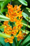 Singapore orchids species. 226 orchid species represented by some 60 genera were recorded in Singapore. About 75% of the country`s orchids are epiphytes and the royalty free stock photos