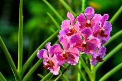 Singapore orchids species. 226 orchid species represented by some 60 genera were recorded in Singapore. About 75% of the country`s orchids are epiphytes and the stock photo