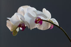 Orchid spray, phalaenopsis,  against a blue background Royalty Free Stock Photo
