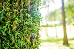 Orchid sprouting on the big tree. Interdependence concept. eipghyte plants. commensalism life of plant concepts. green nature hair. Tree. image for background stock image