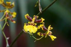 Orchid in  Sri Lanka. Orchid in peradeniya botanical garden, Sri Lanka Stock Photography