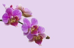Orchid Stem on Lavender Stock Image