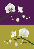 Orchid stem. White orchids with budding stem on purple and green backgrounds Stock Photo