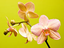 Orchid still-life Stock Photography