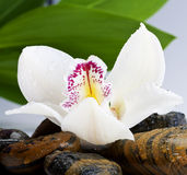 Orchid and stone Stock Photography
