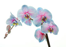 Orchid in studio Royalty Free Stock Images