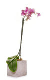 Orchid in studio Stock Photos
