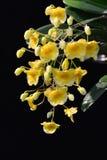 Orchid1 tailandese Immagini Stock