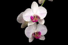 Orchid in tears. Stock Image