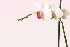 Orchid on tender rosy tint background with free space for text Stock Photo