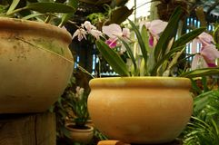 Orchid in terracotta pot Stock Image