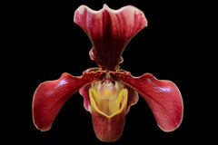 Orchid. This orchid in Thai call Lady's Slipper Stock Photography