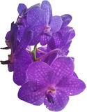 Orchid. Thai orchid vanda purple in White background Stock Photography