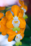 Orchid of thailand Stock Image