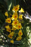 Orchid Thailand Royaltyfria Foton