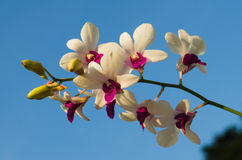 Orchid of Thailand color white. Is Orchids of Thailand Blue background Royalty Free Stock Images