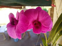 Orchid Thailand Royalty Free Stock Photo
