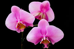 Orchid. Three beautiful pink orchid with absolute black background Stock Photos