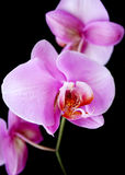 Orchid. Three beautiful pink orchid with absolute black background Stock Images