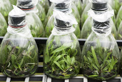 Orchid tissue culture Stock Images