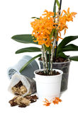 Orchid transplant Royalty Free Stock Photography