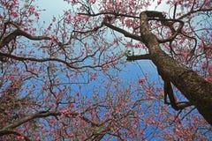 Orchid Tree(Bauhinia Variegata) Stock Image