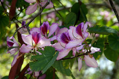 Orchid tree in bloom. Colorful flowers are blooming on branch of a Hong Kong orchid tree (Bauhinia blakeana) in florida Stock Photography