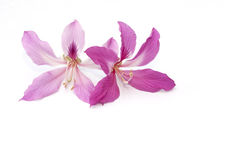 Orchid tree flower isolated Royalty Free Stock Images