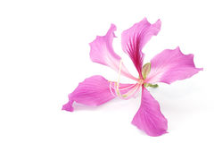 Orchid tree flower isolated Stock Image