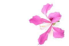 Orchid tree flower isolated Stock Photo