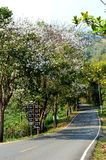 Orchid tree on gray road. To moncham Chiangmai, Thailand Royalty Free Stock Photography