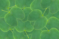 Orchid tree leaf background Royalty Free Stock Image