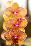 Orchid Trio. Three orchids in an indoor garden Stock Photography