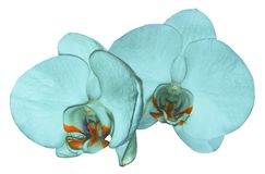 Orchid  turquoise  flower  isolated on white background with clipping path. Closeup. Turquoise  phalaenopsis flower with  orange-v Stock Image