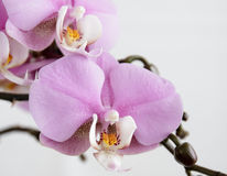 Orchid 2 Royalty Free Stock Image