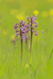 Orchid twins Royalty Free Stock Photos