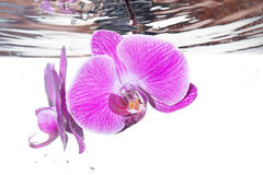Orchid under water Stock Photo