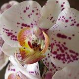 Orchid. Unique, beautiful flower. Stunning, elegant Stock Photo