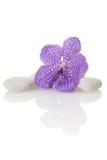 Orchid Vanda Stock Photo