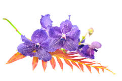 Orchid Vanda Royalty Free Stock Image